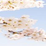 赤城南面千本桜開花予想2016!混雑予報!渋滞は?見頃は?