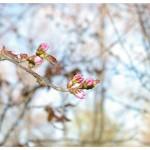 靖国神社で花見in2016!開花は?場所取りはいつからOK?