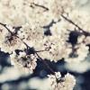 高田公園の桜開花予想2016!混雑予想とみどころ!