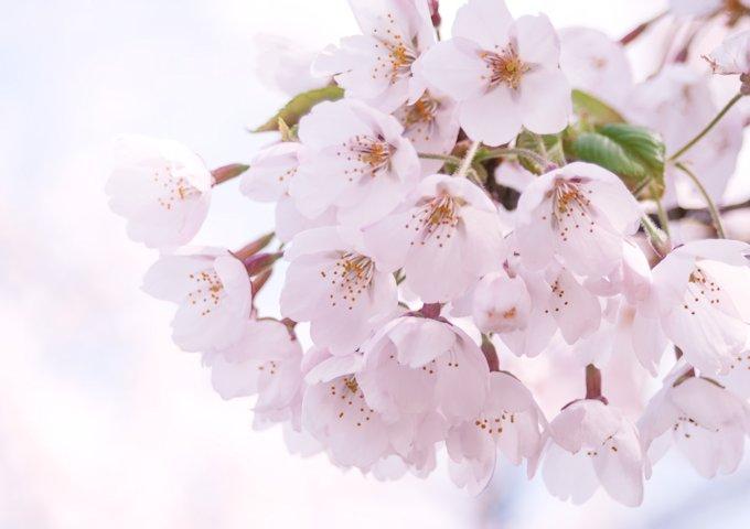 MARI85_harunopinksakura20120505