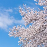 昭和記念公園でお花見in2016!地元民が教えたくない桜満開スポット!