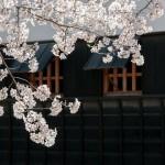 岡崎公園でお花見in2018!開花予想は?場所取りのルールは!?
