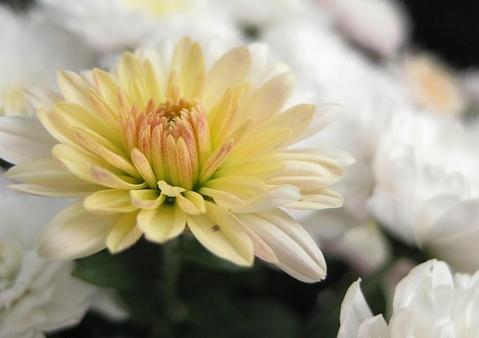 chrysanthemum-209653_1280