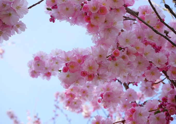 japanese-cherry-trees-324178_1280
