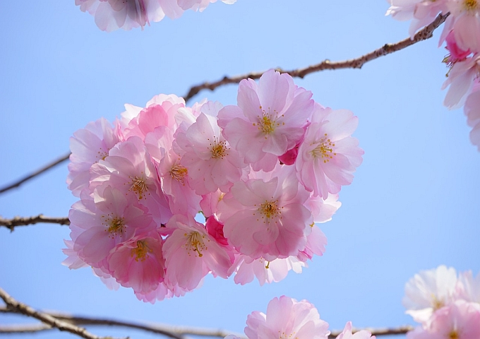 japanese-cherry-trees-324183_1280