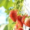 フルーツ狩りを福岡で!6月はイチゴ狩り!おすすめ食べ放題イチゴ狩りスポット3選!