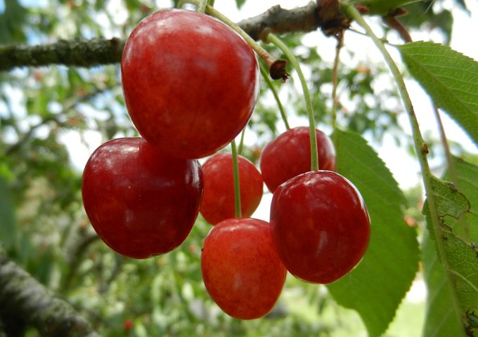 cherries-465247_1280