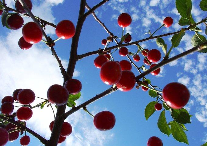 cherries-714526_1280