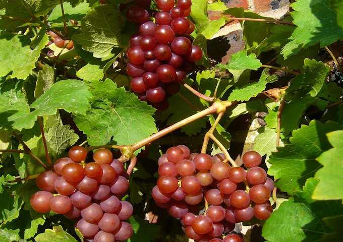 red-grapes-69810_1280