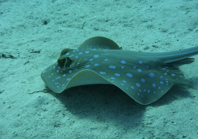blue-spotted-stingrays-1198567_1280
