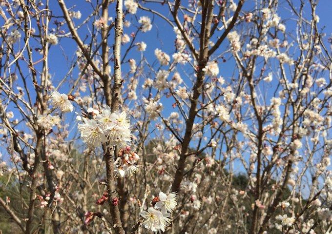 cherries-685497_1280