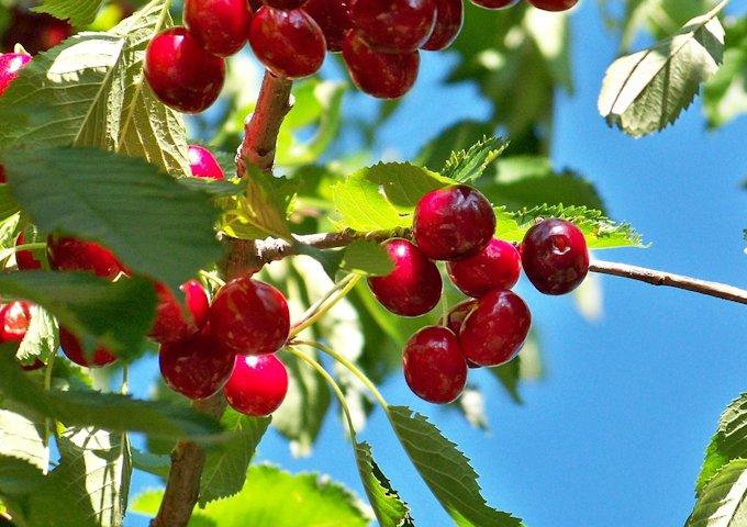cherry-92544_1280