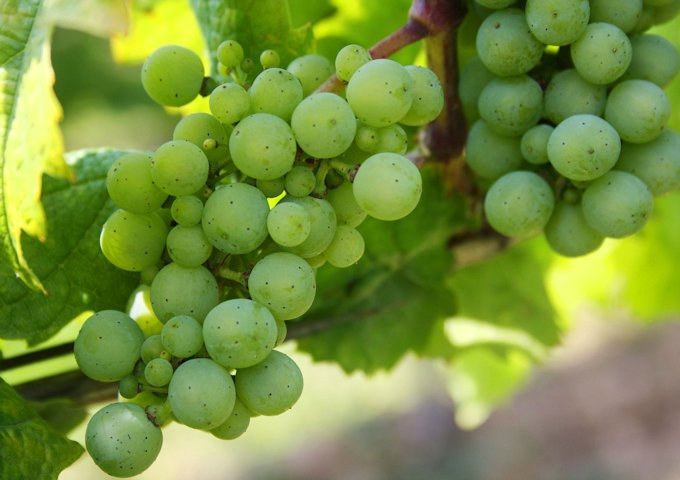 grapes-439300_1280