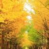 北大の銀杏並木の観光ガイド2017!ライトアップは?一般開放は?見頃は?