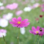 亀岡夢コスモス園2017開花状況と見どころ総まとめ!かかしや割引券も!