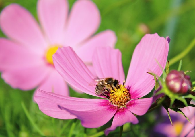 8-コスモスと蜂