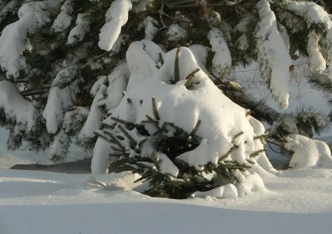 pine-tree-269546_1280