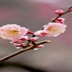 水戸偕楽園梅まつり2017!3000本の見頃は2月下旬!開花状況・予想は?