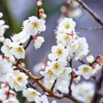 七折の梅まつり2018!2000本の見頃は2月中旬!梅を使った料理もお楽しみ!