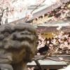 湯島天神梅まつり2018!300本の見頃は2月中旬!ライトアップは何時まで?