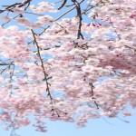 三春の滝桜2018開花予想!樹齢1000年の桜の見頃は?ライトアップは?