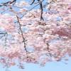 奈良氷室神社の桜!2017年の見頃は?ライトアップなど見どころ総まとめ!