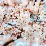 ワシントンDC全米桜まつり2019 !100万人が訪れる!見頃と開花予想は?