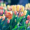 万博記念公園チューリップフェスタ2017!10万本が咲き誇る!開花予想と見頃は?