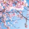 舎人公園花見2018!場所取りや出店・混雑状況総まとめ!
