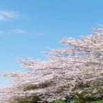 岡山醍醐桜2018!見頃と開花予想は?ライトアップの時間は?