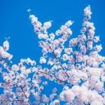 仁和寺御室桜見頃2017!身長ぐらいの高さの桜に包まれて写真を撮ろう!
