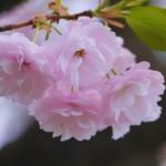 広島造幣局の桜2017見頃・開花予想は?広島人気1位の理由とは?