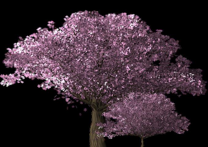 cherry-blossom-tree-1585230_640
