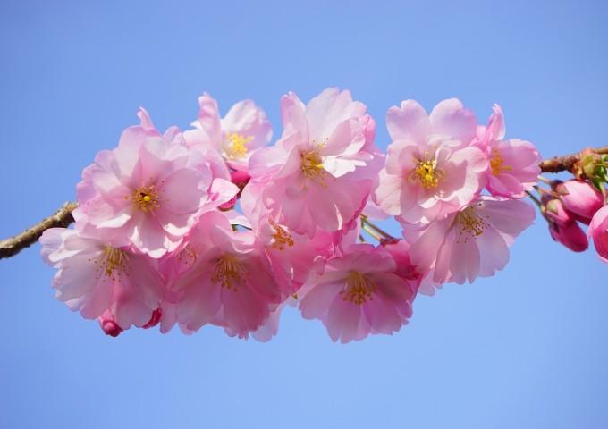 japanese-cherry-trees-324186_1280