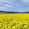 渥美半島(伊良湖)菜の花まつり2018!1000万本の菜の花の見頃・開花状況は?