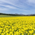 渥美半島(伊良湖)菜の花まつり2017!1000万本の菜の花の見頃・開花状況は?