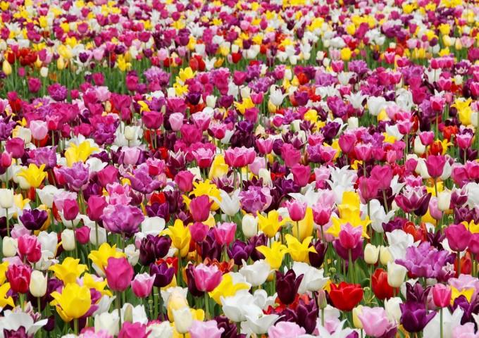 tulips-1405413_1280