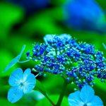 藤森神社の紫陽花見頃・開花状況2017!おすすめ京都の紫陽花名所巡りコースは?