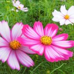 兵庫県コスモスの名所おすすめ3選!見頃・開花状況は?コスモスってどんな花?