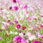 コスモス畑関東おすすめ3選!見頃・開花状況は?コスモスってどんな花?