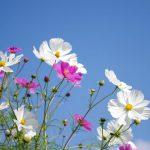 千葉県コスモスの名所おすすめ3選!見頃・開花状況は?コスモスってどんな花?