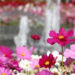 群馬県コスモスの名所おすすめ3選!見頃・開花状況は?コスモスってどんな花?