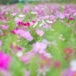 コスモス畑関西おすすめ3選!見頃・開花状況は?コスモスってどんな花?