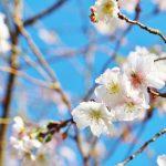 城峯公園の冬桜開花状況・見頃2018!