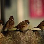群馬の風物詩!中之条の鳥追い祭り2018!みどころは?