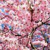 天童桜祭りといえば人間将棋!みどころやベストスポットまとめ!