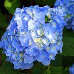 生駒山あじさい園の見頃時期と開花予想!あじさいまつりの見どころは?