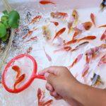 江戸川金魚祭り2018!キンギョリンピックとは?初心者向けみどころガイド!