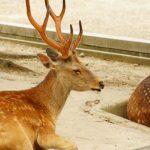 奈良の鹿の角きりの疑問まとめ!切る理由は?痛いの?切った角はどうする?