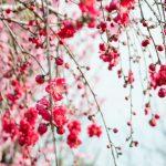 花桃の里の「花桃」開花状況2019!見頃は?花桃とはどんな花?